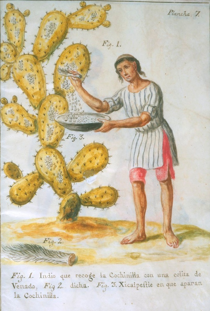 Indian_collecting_cochineal